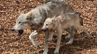 Le loup, dont la population a été décimée au début du 20e siècle, a probablement été sauvée de l'extinction par l'Endangered Species Act, une loi fédérale qui protège depuis 1973 de nombreuses espèces menacées sur le sol américain.