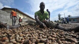 Préparation au séchage des noix de cajou à Abidjan en Côte d'Ivoire (photo d'illustration).