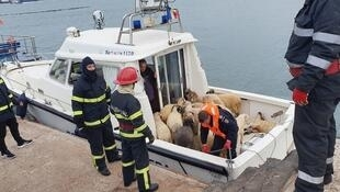 Des moutons sauvés d'un bateau qui tranportait 15000 bêtes et qui a chaviré à moins d'un kilomètre du port roumain de Midia, au bord de la mer Noire.