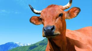 Корова Белла таринской породы - маскотт Сельскохозяйственного салона-2014