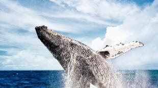 População de baleias jubarte se recuperam bem na costa brasileira, mas ainda são ameaçadas por desenvolvimento.