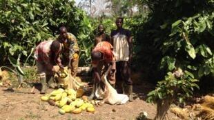 Des planteurs de cacao dans le parc du Mont Péko, en Côte d'Ivoire.