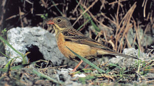 Around a third of ortolans have disappeared over the last decade.