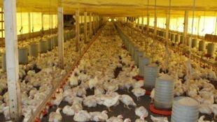 O Brasil era responsável por 50% do frango importado pelo bloco europeu até final do ano passado