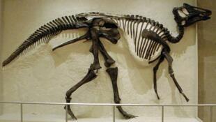 Esqueleto de un hadrosaurio hallado en 1921. Royal Ontario Museum, Toronto.