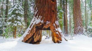 Секвойя с тоннелем в парке больших деревьев в Калифорнии