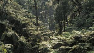Forêt primaire humide en République démocratique du Congo.