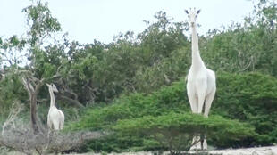 A image by the Ishaqbini Hirola Community Conservancy shows the rare white giraffe and her calf in Kenya