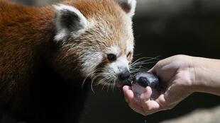 A red panda licks an ice cube at the zoo of Mulhouse, eastern France, on June 26, 2019 (illustrative purposes only)