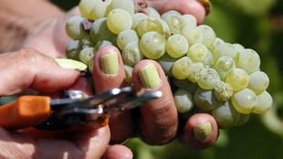 Checking grapes for harvest