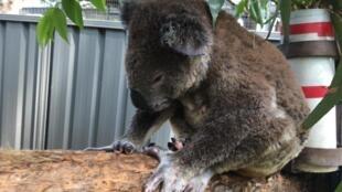 Plus que d'autres animaux les koalas ont particulièrement souffert des incendies.