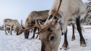 Des rennes dans une ferme de Laponie, en Finlande.