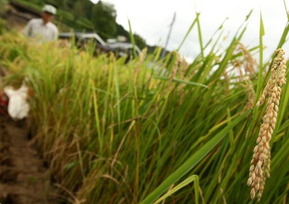 Un champ de riz pendant la saison de récolte du riz à Sayo ville, Hyogo, au Japon.