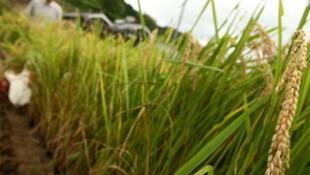 Un embargo a été déclaré sur du riz japonais contaminé, le 17 novembre 2011.