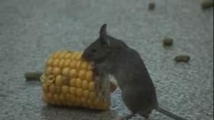 Os ratos alimentados com organismos geneticamente modificados (OGM) morrem antes e sofrem de câncer com mais frequência.
