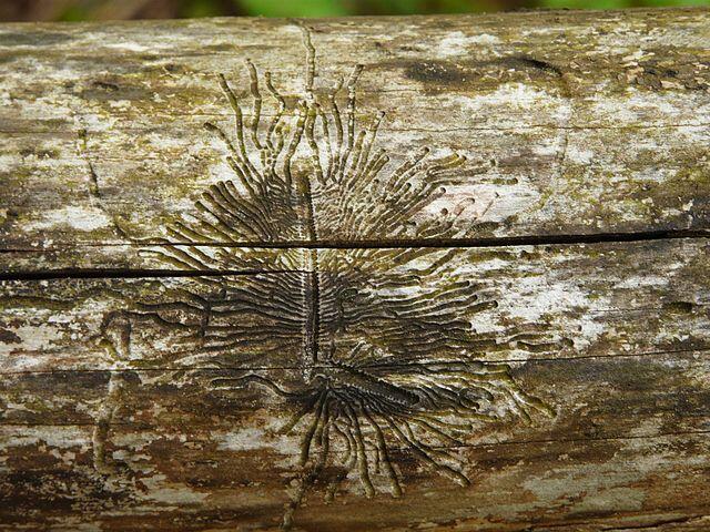 Galeries de scolytes, ou bostryche, sur un tronc d'arbre mort.