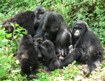 Famille de gorilles des montagnes.