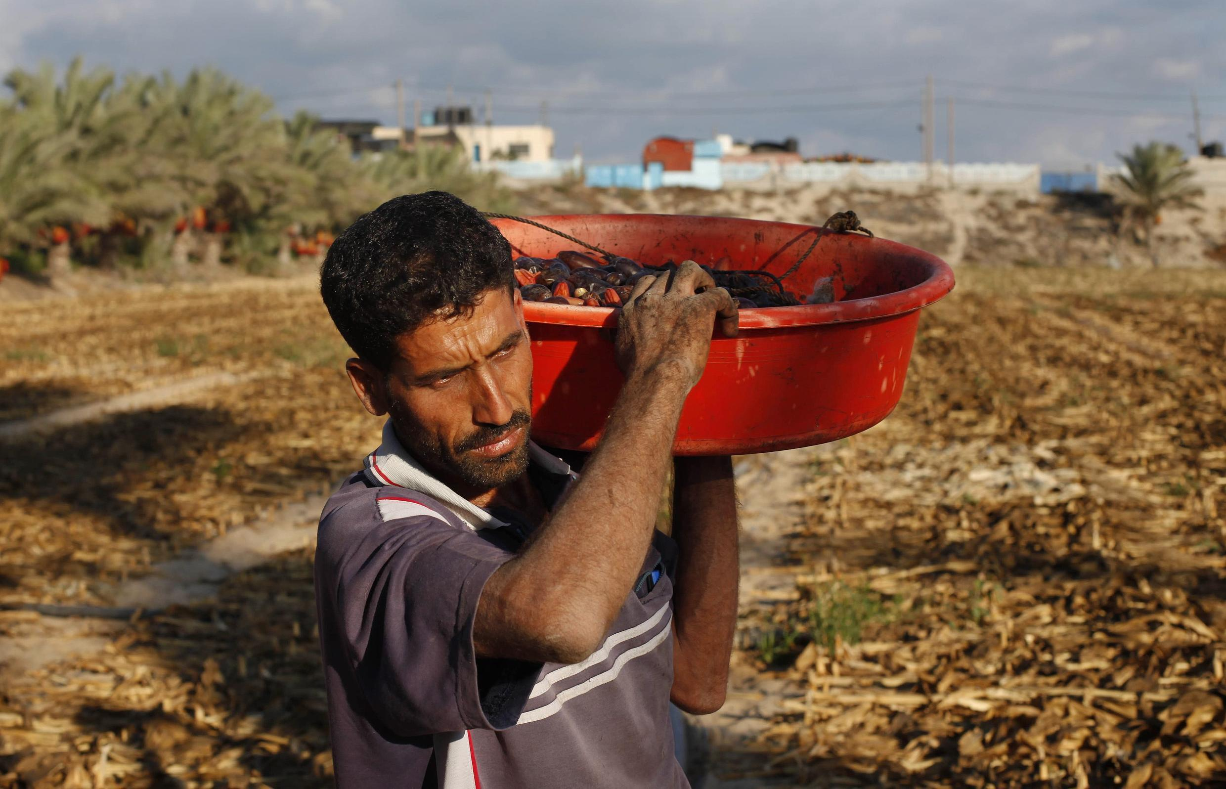 A Palestinian farmer carries dates from palm trees in the central Gaza Strip