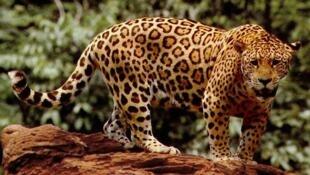 A onça-pintada (Panthera onca), habitante da Mata Atlântica, corre risco extremo de extinção.