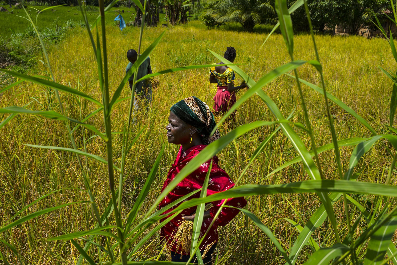 Foya, Liberia, le 6 novembre 2014. Mary Wargbo, son fils et sa fille travaillent dans ce champ de riz de la région de Lofa. Le virus a retardé la période de semaison et la production ne sera pas suffisante.