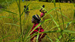 Mary Wargbo, her son and daughter work in a rice field in Lofa County, Liberia
