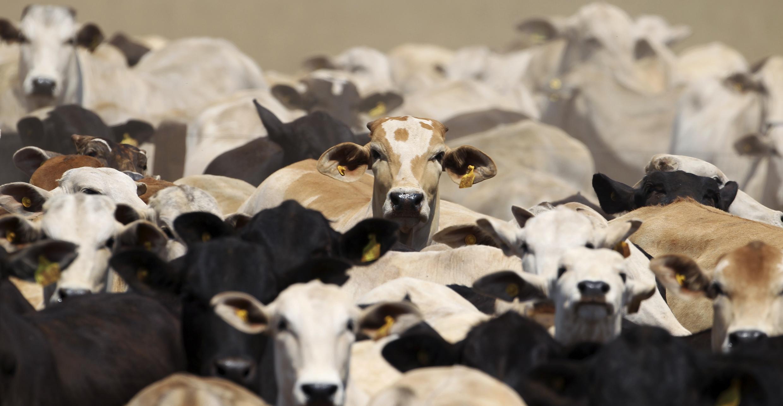 Gado brasileiro não oferece riscos de contaminação por vaca louca, conforme organização internacional.