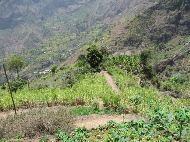 Campos de cana de açúcar em Santo Antão, Cabo Verde