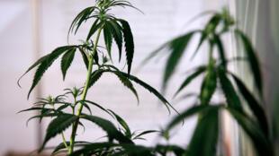 Au Mexique, le Sénat a approuvé jeudi 19 novembre un projet de loi qui légalise l'usage récréatif de cannabis, une substance illégale depuis un siècle dans le pays.