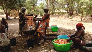 O caju é o principal produto agrícola e de exportação na Guiné-Bissau.