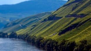 Les terroirs escarpés de Brauneberg le long de la Moselle.
