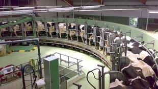 Inside a massive dairy farm, rotating giant milking platter where cows are held.