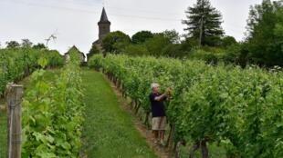 Vinhedos em Queyssac-les-Vignes, no departamento de Corrèze, sudoeste de França, em 24 de junho de 2019.