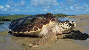 Près de 20% des reptiles dont les tortues sont menacés d'extinction.