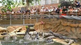 Feeding time at the crocodile farm