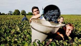 法国波尔多葡萄酒产区2015年获得大丰收