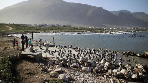 Colonie de pingouins sur la côte de Betty's Bay en Afrique du Sud.
