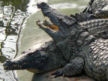 La saison des amours fait parler d'elle à la Ferme aux Crocodiles.