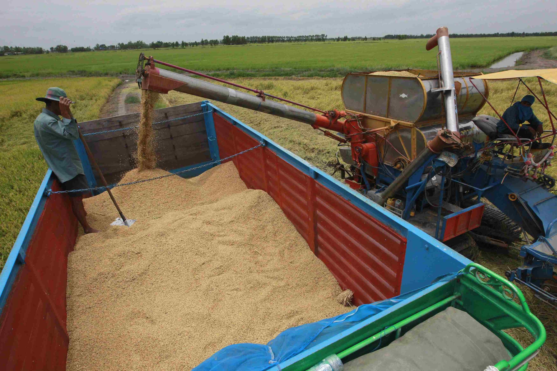 Nông dân Thái Lan thu hoạch lúa tại tỉnh Ayutthaya