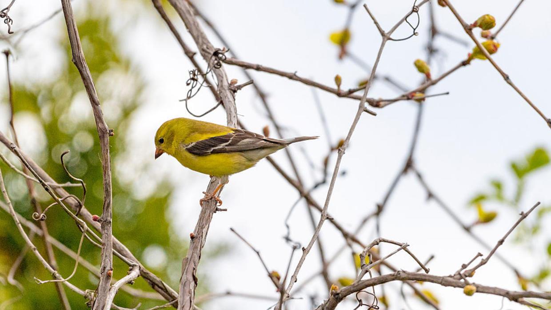 Khi không có lệnh phong tỏa, để lấn át tiếng ồn do người gây ra, loài chim buộc phải hót thật to hay thường xuyên hơn.