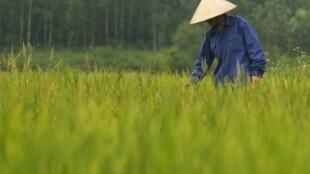 On aurait retrouvé des traces importantes de cadmium, un métal toxique, dans du riz chinois vendu aux cantines et aux entreprises de la région de Guangdong, dans le sud du pays.