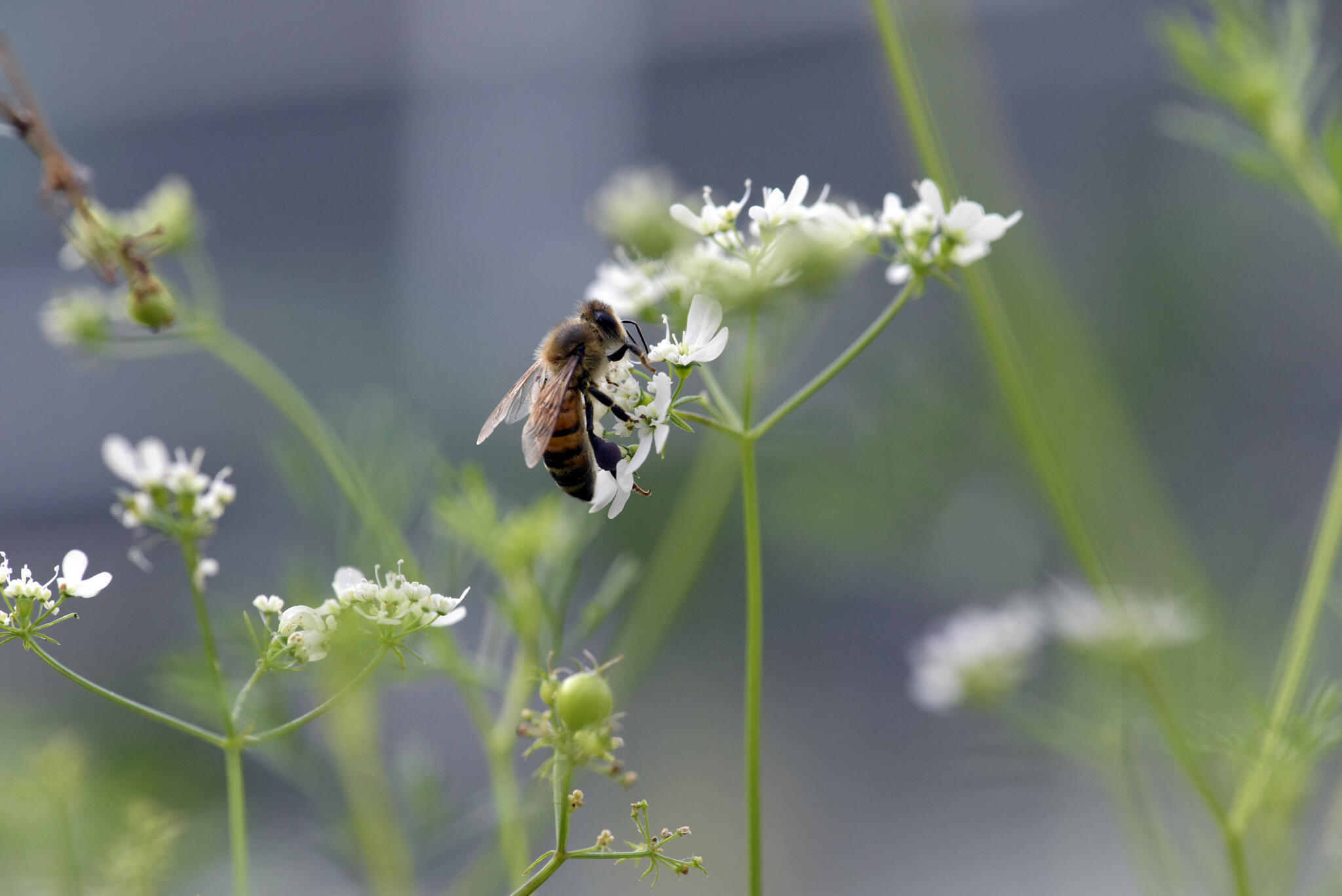 Wild bee gathers pollen on a coriander plant. The high mortality rates of bees in France and Europe is causing concern.