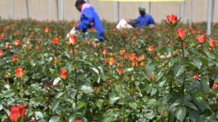 Le Kenya est le principal fournisseur de fleurs coupées de qualité vers l'UE avec une part de marché d'environ 40%.