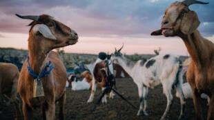 Des chèvres et des moutons dans un désert du Mexique.