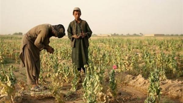 L'Afghanistan produit actuellement, d'après le dernier rapport de l'ONUDC, 84% de l'opium mondial.