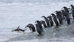 Pingouins dans l'Antarctique.