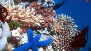 En 2016, un tiers des coraux ont été détruits en eaux de surface à cause de la hausse des températures des eaux. De rose orangé, ils ont viré au blanc intégral, la couleur signalant leur dépérissement.