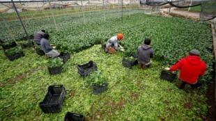 Des travailleurs saisonniers indiens ramassent des légumes dans une ferme italienne, le 22 avril 2019.