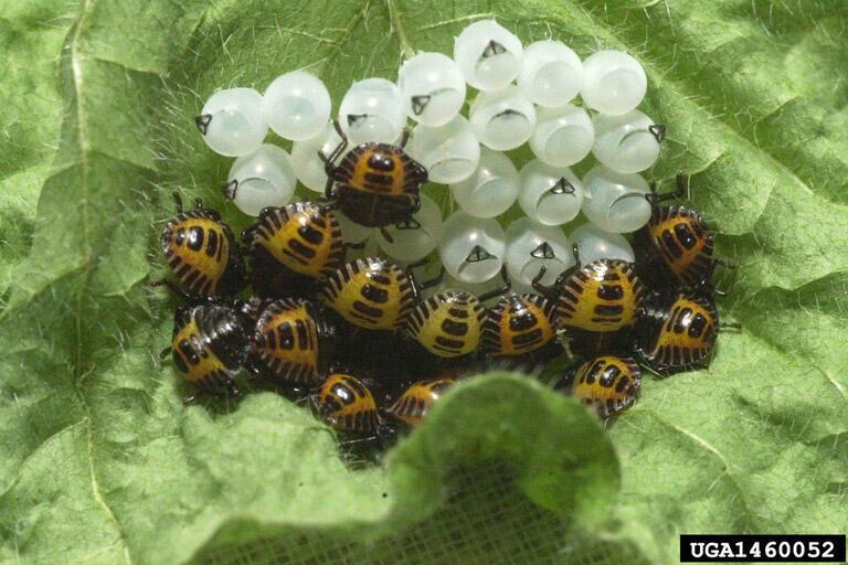 Larvas e ovos de Halyomorpha halys