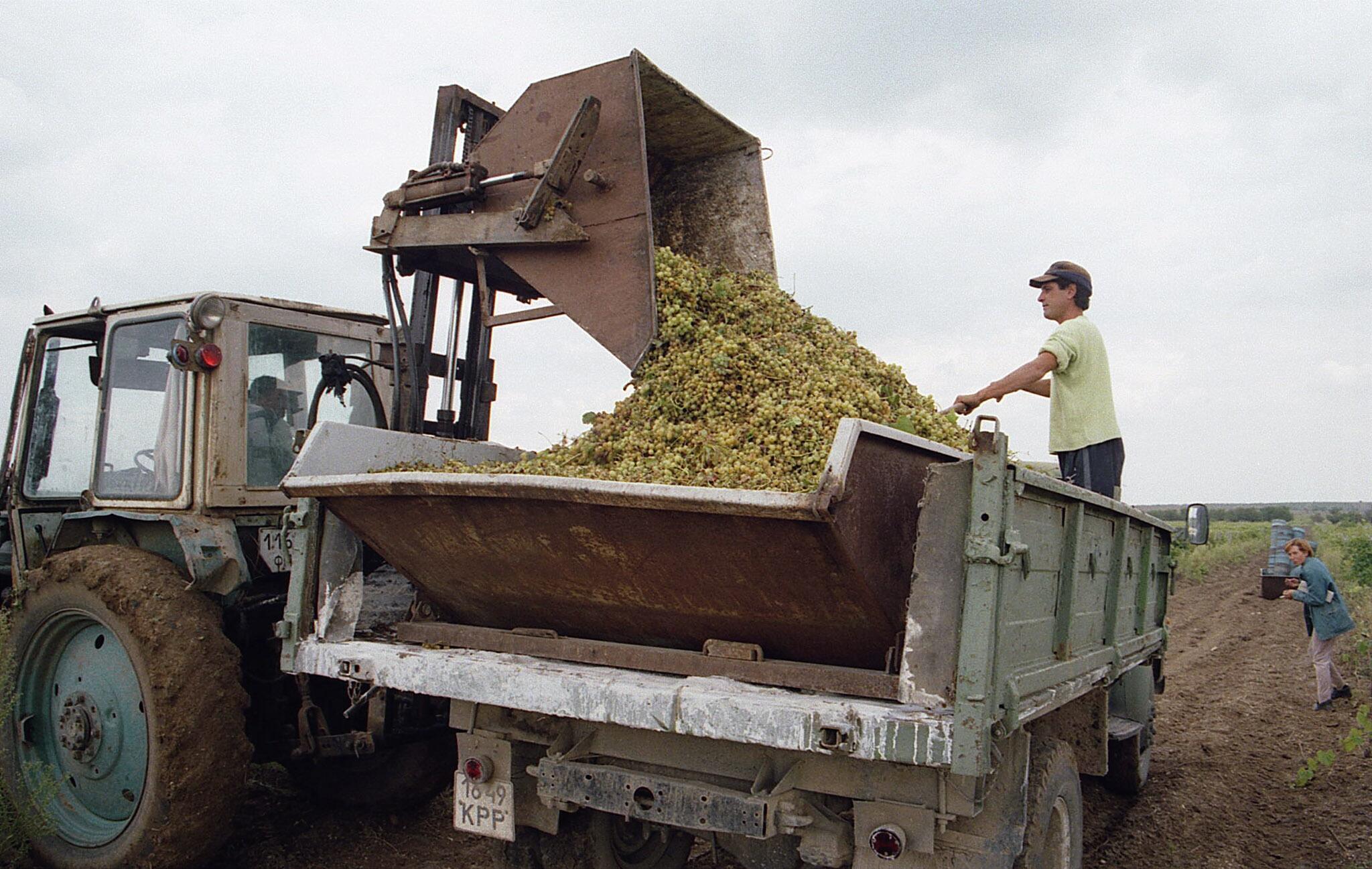 Récolte viticole en Crimée, lors de la saison des vendanges en 2013.
