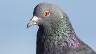 Pour les pigeons c'est la course d'une vie. Le jour J, ils sont embarqués dans des conteneurs, sur un cargo, qui les relâche à des dizaines voire des centaines de kms de la cote, peu importe les conditions climatiques.